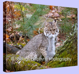 Canvas Wrap of a Wild Maine Bobcat